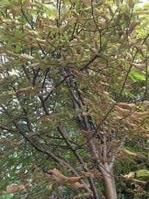 browning tree